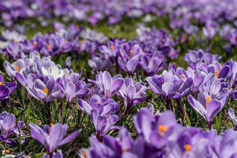 Crocus Corms – Purple4Polio – Our Projects – Rotary in